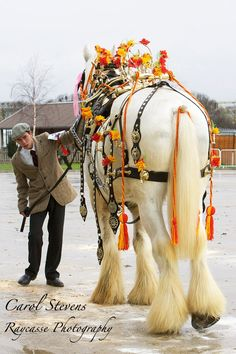One of the great sights at the UK's 2012 Shire Horse Society Spring Show - a Competitor in the Harness Class.  Photo by Carol Stevens