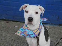 MIA is an adoptable Pit Bull Terrier Dog in Brooklyn, NY.  ...