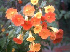 Streptosolen Jamesonii .El arbusto de la eterna primavera.
