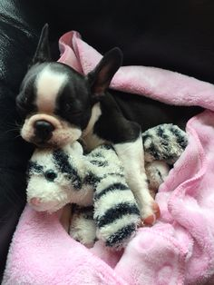 Boston terrier and her buddy