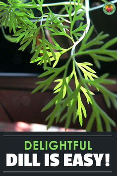 Whether you want it for pickling or for fish dishes, growing dill is the best way to have a fresh supply. Our guide explains everything. Planting Dill, Planting Flowers, How To Grow Dill, Dill Weed, Neem Oil, Annual Plants, Growing Herbs, Pickling, Medicinal Herbs
