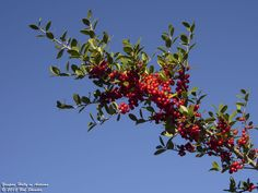 A yaupon holly shrub is one of those plants gardeners dream of because it tolerates almost anything. Learn more about growing and caring for this shrub in the following article.