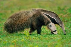 A giant anteater (Myrmecophaga tridactyla) searching for termites in Pantanal, Brazil Photograph: Frans Lanting/Corbis Armadillo, Animals And Pets, Cute Animals, Animals Planet, Unique Animals, Giant Anteater, Frans Lanting, Mundo Animal, Creature Design