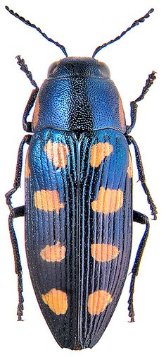 FAMILY Buprestidae (metallic wood-boring beetles, jewel beetles) - Adults are usually metallic (iridescent) – coppery, green, blue, grey, or black, hard- bodied and compact, somewhat fusiform in overall shape, elytra are striated, posterior portion of the elytra is tapered, head is somewhat wide and eyes are prominent. Many species cause extreme damage to trees.