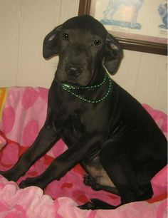 Roscoe - 3 month old, neutered male, lab mix, ID#062423G
