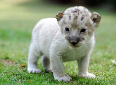 White lion cub at Everland Zoo in South Korea - photo by In Cherl Kim (floridapfe) on Flickr, via zooborns