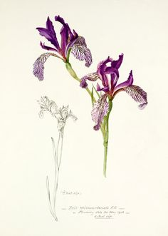 'Iris missouriensis', Williamson, Miss (attributed to)