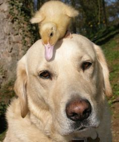 10 Unlikely Animal Friendships  DOG AND DUCKIE When Dennis the duckling lost his mother to a fox, Fred the yellow lab stepped in to take over parenting duties. The duo even take swims together.