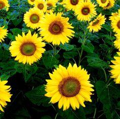 Sunflower Giant Yellow Single 40 seeds