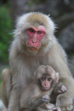 Mother and Baby - Jigokudani Monkey Park Like Animals, Animals Images, Cute Baby Animals, Animals And Pets, Monkey Pictures, Animal Pictures, Jigokudani Monkey Park, Types Of Monkeys, Monkey And Banana