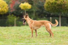 Belgian Malinois Laya standing in the rain