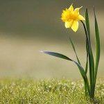 Brighten Your Garden with Daffodils