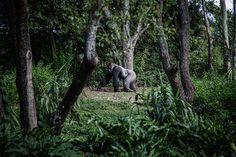 Uganda Vs Rwanda for Gorilla Trekking - Who Offers the Best Adventure? Adventure Tours, Adventure Travel, Herd Of Elephants, Go Ape, Gorilla Trekking, Especie Animal, Mountain Gorilla, Rio Grande Do Sul, African Safari