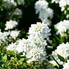 An all-white flower garden is the perfect retreat on a hot summer day and will literally glow at night for your evening enjoyment. Read on for perennial and annual plant suggestions along with easy...