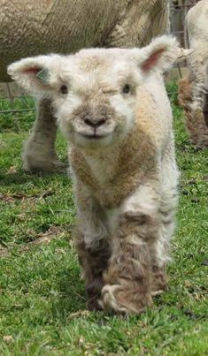 MyLittleSheep.com. Look at this lil Southdown baby sheep! Isn't he like the cutest.