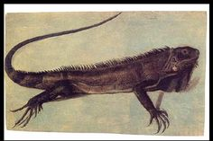 Illustration (credited to Albert Eckhout) of one of the specimens obtained by Marcgrave. Iguana iguana (Squamata: Iguania: Iguanidae)