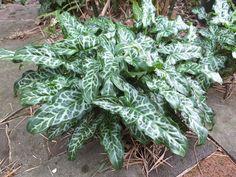 Alternative Eden Exotic Garden: Favourite Plant of the Week - Arum italicum subsp. italicum 'Marmoratum'