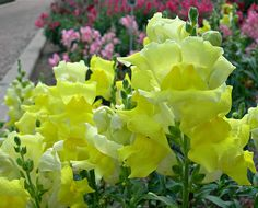 my mom loved yellow snapdragons.  I am planting them this summer.