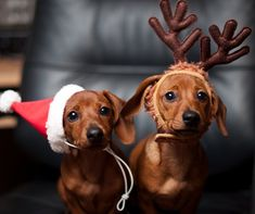 Adorable dachshunds dressed for Christmas