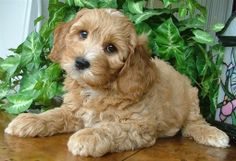 Labradoodle... bc Bella could use a little buddy as well