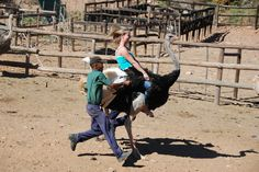 Ostrich Riding, largest ostrich farm in the world  Oudtshoorn, South Africa Done this!
