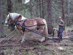 Ardenner doing work in the Swedish forest.
