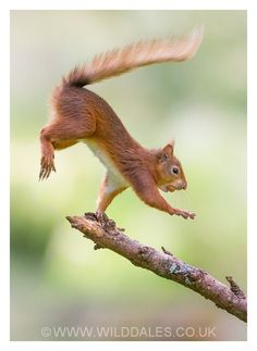 """Balancing Act, Red Squirrel .  The Red Squirrels happy NUT dance.  Lyrics by kind permission of Cyril the Squirrel """"Refrain : I haz NUT. (Repeat 5 times)  I haz NUUUUUUT (Repeat 3 times)"""" Repeat ."""