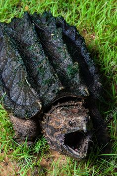 ˚Alligator Snapping Turtle