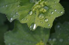 Lady's mantle after the rain...