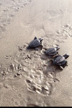 Baby turtles @Tanya Ingersoll Beach