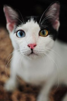 Liam James Images Liam James Photos Different Colored Eyes - This is pam pam the kitten with heterochromia with hypnotic eyes you just cant stop looking at