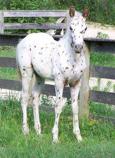 Foals - Leopard Appaloosa colt - by Salior Girl Pretty Horses, Horse Love, Beautiful Horses, Animals Beautiful, Baby Horses, Horses And Dogs, Animals And Pets, Cute Animals, Leopard Appaloosa