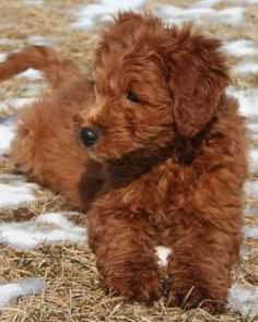 Goldendoodle....I'll take 1 Please!