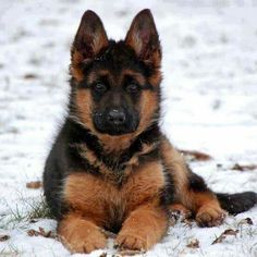 German Shepherd Pup ~ Classic Look Gsd Puppies, Cute Puppies, Cute Dogs, Beautiful Dogs, Animals Beautiful, Cute Animals, Big Dogs, I Love Dogs, German Shepherd Puppies