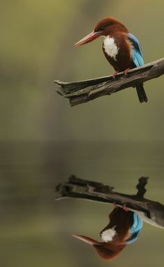 500px / White-Throated Kingfisher (India) by phil homer LSINWP