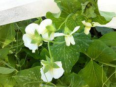 Sukkerert-blomster