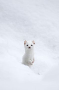 Yellowstone Ermine by Max Waugh