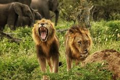 Lions are amongst Africa's most majestic animals. As the only big cat species to live in groups, they've always attracted our attention. The chance to see these spectacular beasts is however decreasing year by year. Movement Of Animals, Big Cat Species, Wild Lion, Serengeti National Park, Majestic Animals, African Safari, Animals Of The World, East Africa
