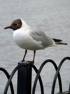 black headed gull, otley by kate broughton, via Flickr