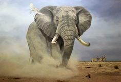 Wildlife art by Rob MacIntosh Wild Elephant, Asian Elephant, Elephant Art, Wildlife Paintings, Wildlife Art, Animal Paintings, Gorilla Tattoo, Elephant Photography, Elephant Pictures