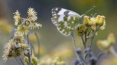 Suomen Perhoset Sinappiperhonen » Suomen Perhoset