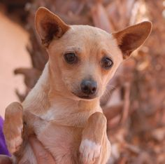 Garcon, an 8-month junior puppy, yearns for peace-of-mind. He has survived abuse and his eyes are heartbreaking. We look forward to the day when Garcon understands he is safe, never to be hurt again. He is a cute Chihuahua mix, a neutered boy, debuting for adoption today at Nevada SPCA (www.nevadaspca.org). He was at another shelter that asked for our help. Garcon is good with other dogs and may develop best in a gentle home with a big sister or brother dog.