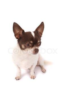 Brown White Chihuahua