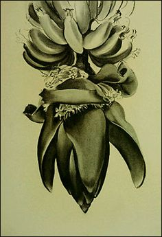 Georgia O'Keeffe, American (1887-1986) Banana Flower No.1, 1933 charcoal on paper Arkansas Arts Center Foundation Purchase: Museum Purchase Plan of the NEA and the Tabriz Fund, 1974. 74.011.00h