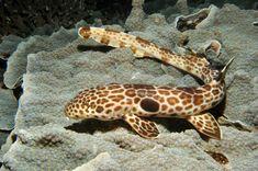 Epaulette shark / Epaulethaai
