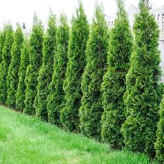 Thuja occidentalis | Conifer Smaragd One of the most popular conifer varieties with stunning emerald green foliage. Cone shaped growth habit that is hardy and low maintenance. Ideal for featuring in pots. Frost and drought tolerant once established. Grows 2m high x 1m wide.