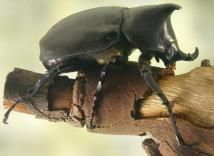 African Wildlife: Have You Heard of the Little Five?: Rhino Beetle