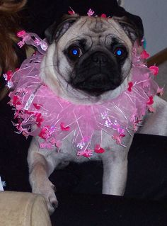 Hi Friends, Happy Valentine's Day! Peace, Hugs and Valentine Love, Sheba Valentine's Day Outfit, Outfit Of The Day, Pug Love, Happy Valentines Day, Pugs, Craft Ideas, Crafts, Animals, Animales