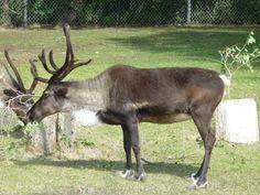 Winnipeg Zoo - Reindeer Zoos, Reindeer, Animals, Animais, Animales, Animaux, Animal, Reindeer Ornaments, Dieren