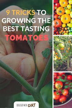 Tomatoes Gardening For Beginners If you want to know how to grow tomatoes then you need to read this. You'll learn the top 9 secrets used by the best tomato growers to grow the best tomatoes! Tips For Growing Tomatoes, Growing Tomato Plants, Growing Tomatoes In Containers, Grow Tomatoes, Baby Tomatoes, Vegetable Garden For Beginners, Backyard Vegetable Gardens, Tomato Garden, Gardening For Beginners